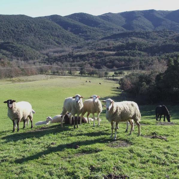 Des moutons sus la pelouse de l'espace naturel sensible de Bordegrande
