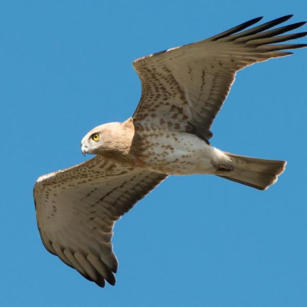 la ciercaète Jean-Le-Blanc en vol au domaine de Lacalm, dans l'Aude.